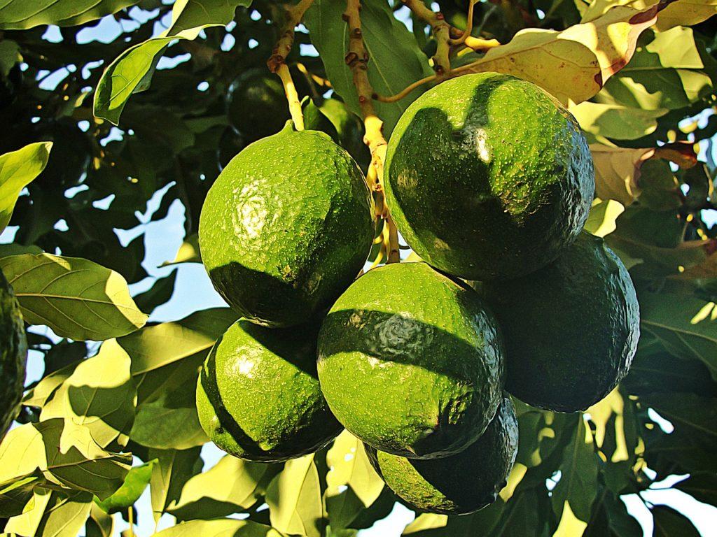 avocados schlecht für deinen hund