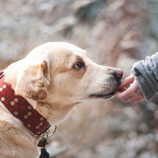 warum fressen labradore so viel