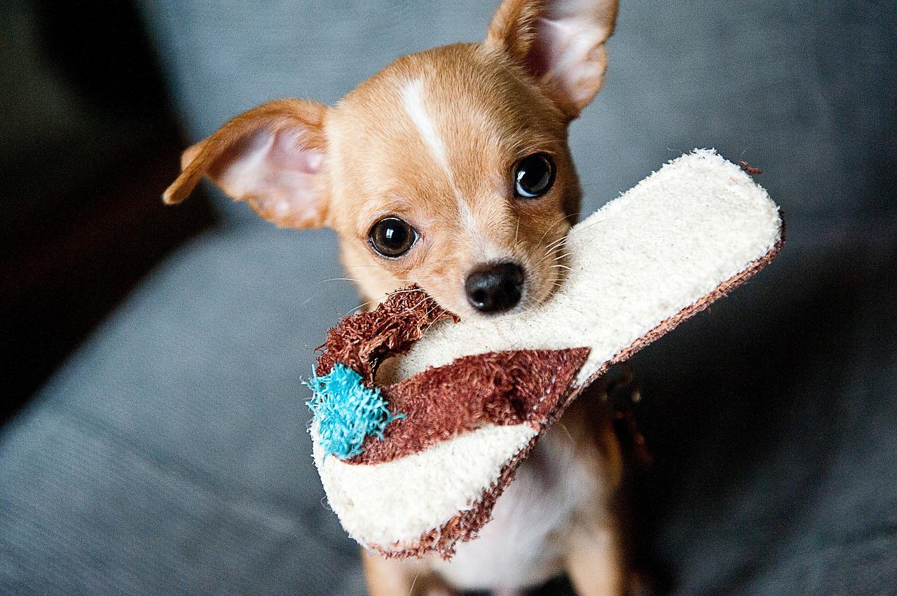 Chihuahua wesensmerkmale