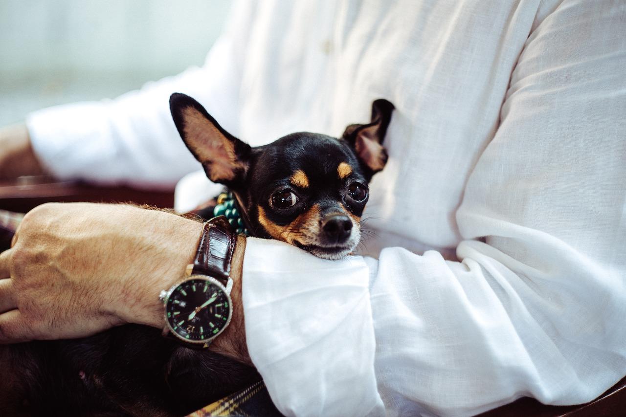 Chihuahua grösse
