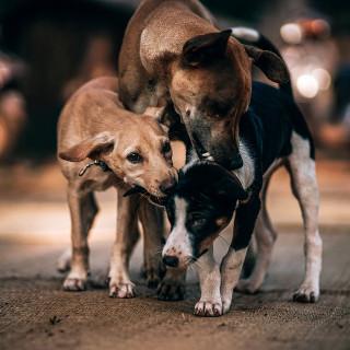 hunde aus rumänien